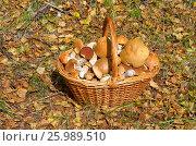 Купить «Полнгая корзина грибов в лесу», фото № 25989510, снято 29 августа 2016 г. (c) Елена Коромыслова / Фотобанк Лори