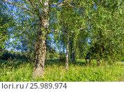Березка в лесу, фото № 25989974, снято 9 июля 2016 г. (c) Megapixx / Фотобанк Лори