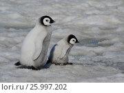 Emperor Penguin chicks in Antarctica. Стоковое фото, фотограф Vladimir / Фотобанк Лори