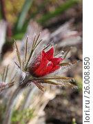 Купить «Красный бутон сон-травы крупно», эксклюзивное фото № 26008850, снято 16 апреля 2017 г. (c) Ната Антонова / Фотобанк Лори