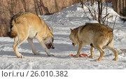 Купить «Пара волков ссорится из-за мяса», фото № 26010382, снято 5 февраля 2017 г. (c) Валерия Попова / Фотобанк Лори