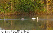 Купить «Family of white swans swims along autumn lake», видеоролик № 26015842, снято 6 апреля 2017 г. (c) Михаил Коханчиков / Фотобанк Лори