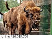Купить «Bison», фото № 26019706, снято 15 августа 2009 г. (c) Демьянович Вадим / Фотобанк Лори