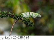 Купить «The Canopy Lizard or Berthold's Bush Anole, Polychrus gutturosus, is an arboreal lizard found throughout Central America from Honduras down to Ecuador...», фото № 26038194, снято 12 июня 2013 г. (c) age Fotostock / Фотобанк Лори