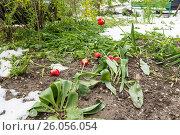 Повреждённые тюльпаны после обильного снегопада весной в Молдавии,город Кишинёв (2016 год). Стоковое фото, фотограф Вячеслав Сыпченко / Фотобанк Лори