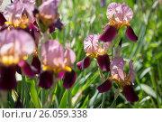 Купить «flowers of lilac iris», фото № 26059338, снято 3 мая 2016 г. (c) Типляшина Евгения / Фотобанк Лори
