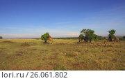 Купить «giraffes eating tree leaves in savanna at africa», видеоролик № 26061802, снято 31 марта 2017 г. (c) Syda Productions / Фотобанк Лори