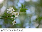 Цветущая вишня, фото № 26062682, снято 26 сентября 2017 г. (c) Юрий Фатеев / Фотобанк Лори