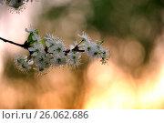 Купить «Цветущий терновник, закат», фото № 26062686, снято 19 августа 2018 г. (c) Юрий Фатеев / Фотобанк Лори