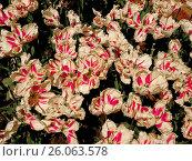 Купить «Тюльпаны на выставке тюльпанов. Никитский ботанический сад (Крым)», фото № 26063578, снято 5 мая 2015 г. (c) Маргарита Лир / Фотобанк Лори