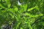 Робиния ложноакациевая (Robinia Pseudoacacia), фото № 26063942, снято 5 июня 2012 г. (c) Алёшина Оксана / Фотобанк Лори