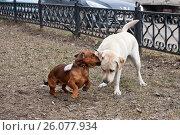 Купить «Золотистый ретривер и такса играют друг с другом», фото № 26077934, снято 6 апреля 2014 г. (c) Цветков Виталий / Фотобанк Лори