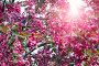 The blossoming apple tree with pink flowers, фото № 26078538, снято 22 мая 2016 г. (c) Куликов Константин / Фотобанк Лори