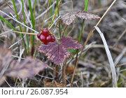 Купить «Княженика (Rubus arcticus)», фото № 26087954, снято 15 августа 2015 г. (c) Сергей Дрозд / Фотобанк Лори