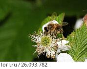 Купить «Пчела на цветке», фото № 26093782, снято 27 мая 2012 г. (c) Geraldas Galinauskas / Фотобанк Лори