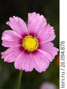 Цветок космеи крупным планом (Pink cosmos flower) Стоковое фото, фотограф Владимир Борисов / Фотобанк Лори