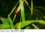 Los coccinélidos son una familia de insectos coleópteros de la superfamilia Cucujoidea. Reciben diferentes nombres vulgares según el lugar, siendo el más... Стоковое фото, фотограф Juan Carlos Cantero / age Fotostock / Фотобанк Лори