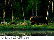 Купить «Big brown bear walking around lake in the morning sun», фото № 26098786, снято 7 июня 2014 г. (c) easy Fotostock / Фотобанк Лори