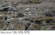 Купить «Goats on a mountain pasture», видеоролик № 26105970, снято 19 декабря 2011 г. (c) Gennadiy Iotkovskiy / Фотобанк Лори