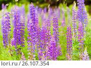Купить «Lush violet flowers», фото № 26107354, снято 6 июня 2013 г. (c) Анна Гучек / Фотобанк Лори