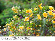 Купить «Yellow clinging roses, a lush bloom», фото № 26107362, снято 6 июня 2013 г. (c) Анна Гучек / Фотобанк Лори