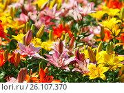 Купить «Fields of magnificent flowering lilies», фото № 26107370, снято 26 июня 2007 г. (c) Анна Гучек / Фотобанк Лори