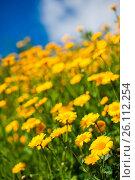 Купить «Yellow aster wildflowers in a field», фото № 26112254, снято 15 ноября 2019 г. (c) easy Fotostock / Фотобанк Лори