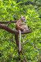 Обезьяна сидит на ветке дерева. Королевство Таиланд, провинция Краби, полуостров Рейли, фото № 26116822, снято 27 января 2017 г. (c) Владимир Сергеев / Фотобанк Лори