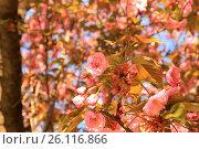 Купить «Нежные, розовые  цветы  сакуры (японской вишни) расцвели  в весеннем саду», фото № 26116866, снято 28 апреля 2017 г. (c) Rospoint / Фотобанк Лори