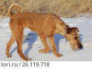 Собака породы ирландский терьер идет по снегу. Стоковое фото, фотограф Анна Зеленская / Фотобанк Лори