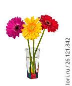 Купить «Три разноцветных герберы в вазе на белом фоне изолировано», фото № 26121842, снято 1 мая 2017 г. (c) Наталья Волкова / Фотобанк Лори