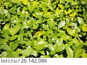 Купить «tea plantation field on Sri Lanka», фото № 26142086, снято 9 февраля 2015 г. (c) Syda Productions / Фотобанк Лори