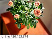Купить «Miniature rose bush in a flowerpot in the sunlight», фото № 26153874, снято 15 февраля 2016 г. (c) Tetiana Chugunova / Фотобанк Лори
