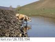 Корова спускается на водопой. Стоковое фото, фотограф Гузель Гарипова / Фотобанк Лори