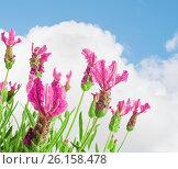 Купить «Lavender flower», фото № 26158478, снято 11 сентября 2014 г. (c) Кропотов Лев / Фотобанк Лори