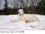 Купить «Щенок алабая лежит на снегу. (сука, 7 мес.)», фото № 26171418, снято 5 мая 2017 г. (c) Светлана Попова / Фотобанк Лори