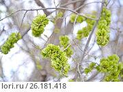 Купить «Незрелые плоды вяза приземистого (Ulmus pumila L.)», фото № 26181418, снято 20 апреля 2017 г. (c) Ирина Борсученко / Фотобанк Лори