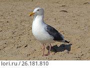 White gull on the sandy beach. Стоковое фото, фотограф MARINA EVDOKIMOVA / Фотобанк Лори