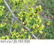 Купить «Ветка с зелеными плодами вяза приземистого (Ulmus pumila L.) на фоне травы», фото № 26181926, снято 21 апреля 2017 г. (c) Ирина Борсученко / Фотобанк Лори