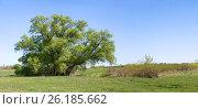 Купить «Весенний пейзаж: старая ветла, луг, дорога», фото № 26185662, снято 7 мая 2017 г. (c) Инна Грязнова / Фотобанк Лори
