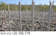Купить «Ecology. Spring unplowed field with dry stems left after last year's harvesting of sunflower.», видеоролик № 26186170, снято 19 сентября 2018 г. (c) Константин Мерцалов / Фотобанк Лори