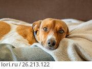 Купить «Relaxing mixed breed dog on a blanket.», фото № 26213122, снято 5 декабря 2016 г. (c) age Fotostock / Фотобанк Лори
