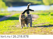 Two cute  kitten walking on green grass next to and caress on a summer day. Стоковое фото, фотограф Бачкова Наталья / Фотобанк Лори