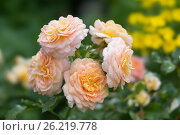 Роза флорибунда Анджи (Angie delchacre) цветёт Сибири. Стоковое фото, фотограф Светлана Попова / Фотобанк Лори