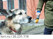 Купить «Portrait of a beautiful spitz-dog against a green grass», фото № 26231118, снято 9 мая 2017 г. (c) Андреев Алексей / Фотобанк Лори