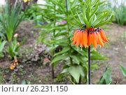 Купить «Рябчик императорский (лат. Fritillaria imperialis) крупным планом», эксклюзивное фото № 26231150, снято 21 апреля 2017 г. (c) Ирина Водяник / Фотобанк Лори