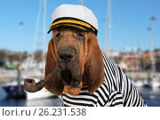 Купить «The skipper Bloodhound dog», фото № 26231538, снято 6 мая 2017 г. (c) Алексей Кузнецов / Фотобанк Лори