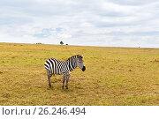 Купить «zebra grazing in savannah at africa», фото № 26246494, снято 17 февраля 2017 г. (c) Syda Productions / Фотобанк Лори