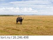 Купить «buffalo bull grazing in savannah at africa», фото № 26246498, снято 17 февраля 2017 г. (c) Syda Productions / Фотобанк Лори