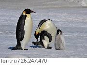 Купить «Emperor Penguins with chicks», фото № 26247470, снято 31 октября 2010 г. (c) Vladimir / Фотобанк Лори